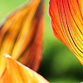 Canna Lily Named Durban by J McCombie