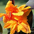 Canna Lily Named Wyoming by J McCombie