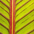 Canna Lily Red Stripe  by Marina Kojukhova