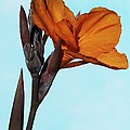 Canna X Generalis 'wyoming' by Science Photo Library