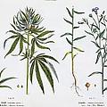 Cannabis And Flax by Matthias Trentsensky