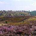 Cannock Chase Heather 4 by John Chatterley