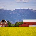 Canola Field Barn by Dan Neri