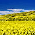 Canola Field by Naphat  Chantaravisoot