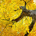 Canopy Of Autumn Leaves by Tom Mc Nemar