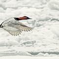 Canvasback Duck In Flight by LeeAnn McLaneGoetz McLaneGoetzStudioLLCcom