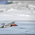 Canvasback Duck On Ice by LeeAnn McLaneGoetz McLaneGoetzStudioLLCcom