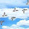 Canvasback Ducks In Flight by LeeAnn McLaneGoetz McLaneGoetzStudioLLCcom