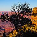 Canyon Tree by Angus Hooper Iii