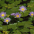 Cape Blue Water-lily Group Blooming by Konrad Wothe