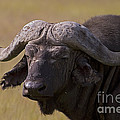 Cape Buffalo   #0607 by J L Woody Wooden