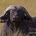 Cape Buffalo   #0609 by J L Woody Wooden