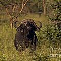 Cape Buffalo   #6851 by J L Woody Wooden