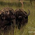 Cape Buffalo   #6884 by J L Woody Wooden