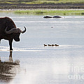 Cape Buffalo And Baby Eygptian Geese   #0375 by J L Woody Wooden