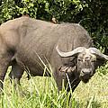Cape Buffalo  Uganda by Liz Leyden
