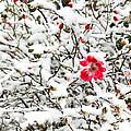 Cape Cod Beach Rose In Fresh Snow by Michelle Constantine