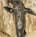 Cape Fur Seal Basking In The Sun by Science Photo Library