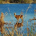 Cape Hatteras Deer In Pond 3 11/22 by Mark Lemmon
