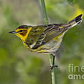 Cape May Warbler by Anthony Mercieca