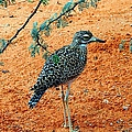 Cape Thick-knee by Elizabeth Winter