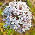 Capitate Valerian Near Savage River Cabin In Denali Np-ak by Ruth Hager