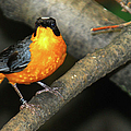 Captive Orange Breasted Bird by Optical Playground By MP Ray
