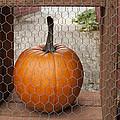 Captive Pumpkins by Victoria Harrington