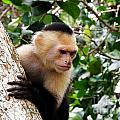 Capuchin Monkey by DejaVu Designs