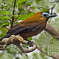 Capuchinbird by Anthony Mercieca