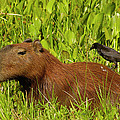 Capybara And Smooth Billed Ani by Pete Oxford