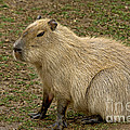 Capybara by Anthony Mercieca
