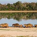 Capybara By A Lake by Tony Camacho/science Photo Library