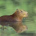 Capybara Wading Pantanal Brazil by Konrad Wothe