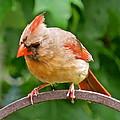 Cardinal 103 by Patsy Pratt
