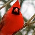 Cardinal 104 by Patsy Pratt
