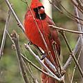 Cardinal 123 by Patsy Pratt