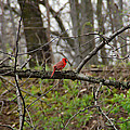 Cardinal by Aimee L Maher ALM GALLERY