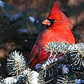 Cardinal And Evergreen by Shere Crossman