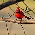 Cardinal Beauty by Stephanie Hanson