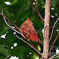 Cardinal Bird Baby by Peggy Franz