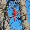 Cardinal Bird  by FL collection
