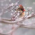 Cardinal - Bird - Lady In The Rain by Travis Truelove