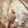 Cardinal Birds Female by Peggy Franz