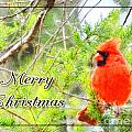 Cardinal Christas Card by Debbie Portwood