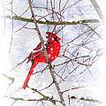 Cardinal Christmas-2014 by Travis Truelove