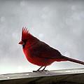 Cardinal by Cricket Hackmann
