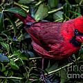 Cardinal by David Rucker