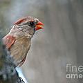 Cardinal Eye by Cheryl Baxter