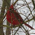Cardinal  Hide And Seek by Linda L Martin